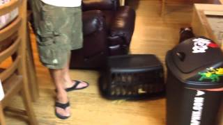 Diamond The English Bulldog Puppy Chases Her Brothers In A Clothes Basket