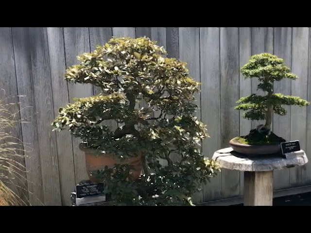 A Tour of the Bonsai Court at the Huntington Gardens