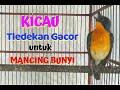 Tledekan Gunung Gacor  Nangkring Kalem  Mp3 - Mp4 Download