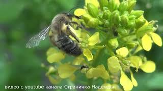 Пчёлы вымирают по всей планете !!!
