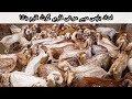 108 | Goat Farming | Poultry Farming | امداد باہمی سے دیسی مرغی فارم , گوٹ فارم بنانا