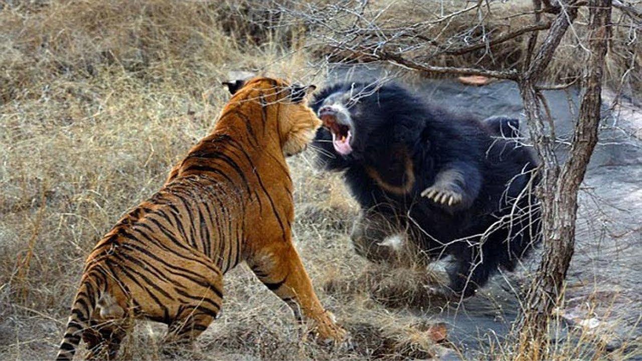Tigre Siberiano VS Oso Negro   Batalla Épica  - Top Strange