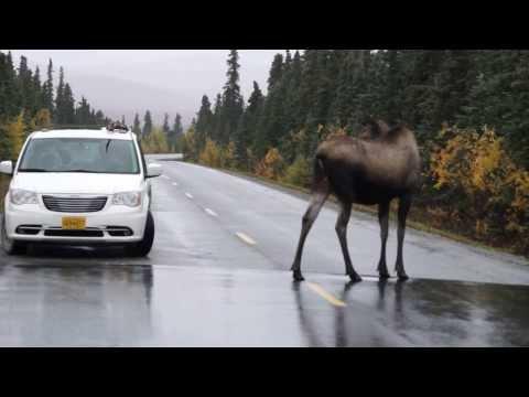 Caution: Moose Crossing
