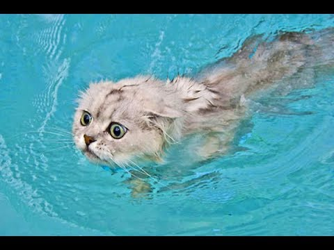 Funny swimming cats - funny fails videos FFV