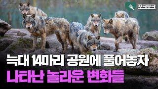 늑대 14마리를 공원에 풀어놓자, 기적적인 변화가 일어나는데