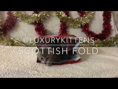 Merry Christmas Scottish Fold Kittens for sale