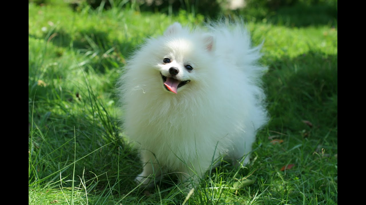 Funny pomeranian funny puppies compilation youtube