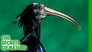 The Flight of the Bald Ibis - The Secrets of Nature