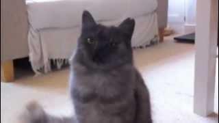 The Muppet Show Cute Cat Sings Mahna Mahna Manamana (Singing Cat)