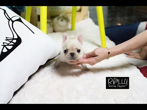 Teacup French Bulldog just TOO ADORABLE~~ Hope - Rolly Teacup Puppies