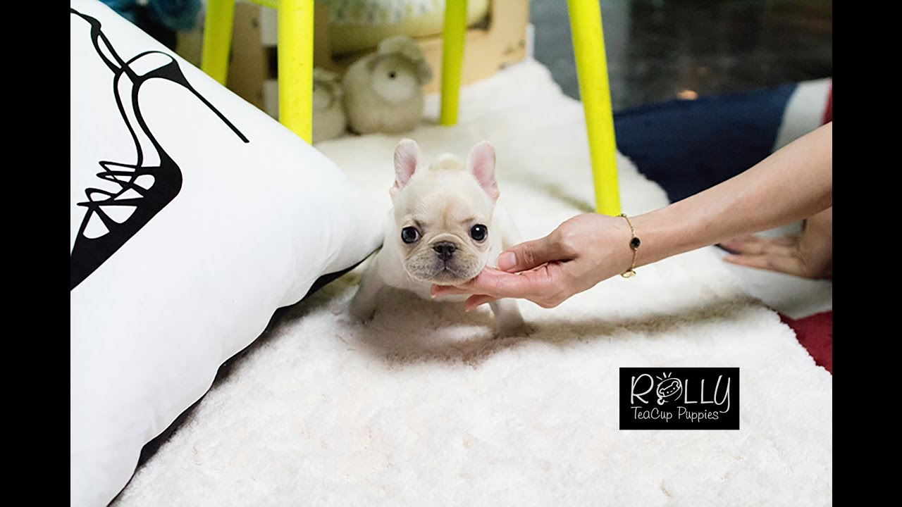 Teacup French Bulldog Just Too Adorable Hope Rolly Teacup