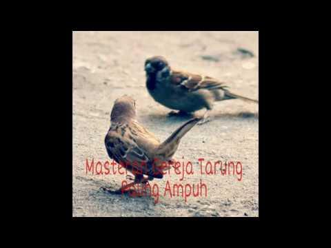 Suara Burung Gereja Tarung Untuk Memaster Burung Ocehan Mp3