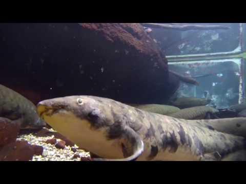 Granddad the Australian Lungfish