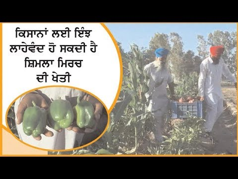 Cultivation of Shimla Mirch could be profitable for Farmers.