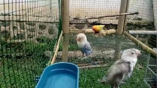 Paud lovebird trah panjang