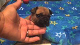 AKC French Bulldog babies 4 weeks old potty trained on wee wee pads