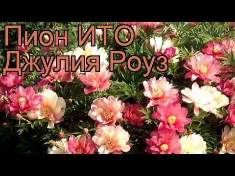 Пион ито Джулия Роуз (paeonia itoh julia rose) 🌿 обзор: как сажать, рассада пиона Джулия Роуз