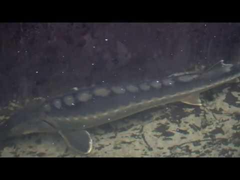 Видео: Осетры в кристально чистой воде