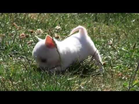 Chihuahua Puppies 30th June 2015