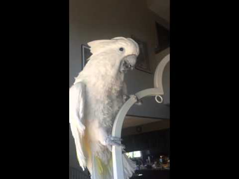 Q-Tip the Cockatoo Dances to Chaccaron Maccaron