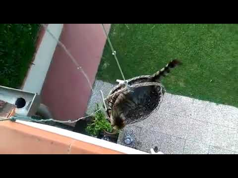 Owner Lifts Cat Up Building in Basket - 984778-2