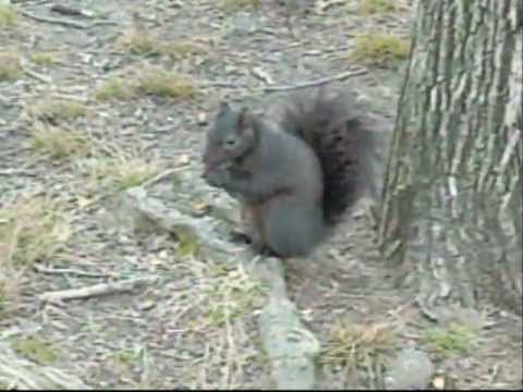 Two Eastern Gray Squirrels (Sciurus carolinensis), One of Them Black, in Central Park of New York