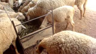 Sheep Farm video from Grass2Silage