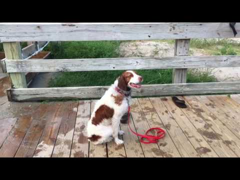 Sophie, Brittany Spaniel~Board and Train Wilmington Dog Trainers