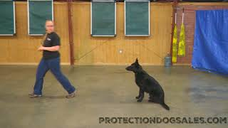 Haven von Prufenpuden 16 Mo's Black German Shepherd Obedience/Protection Trained Dog For Sale