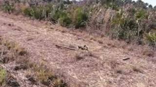 Eastern Diamondback Rattlesnake Encounter in Florida