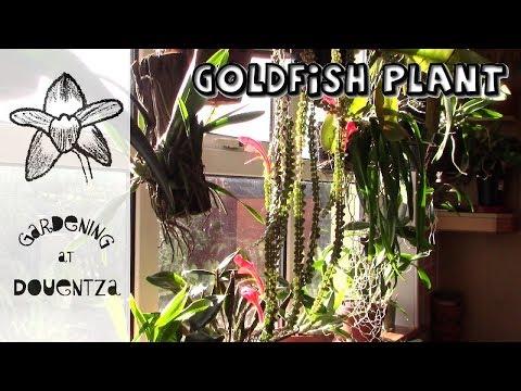 Columnea, The Goldfish Plant