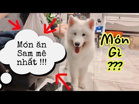 Món ăn ưa thích nhất của chó Samoyed là gì? (Samoyed's favorite food)