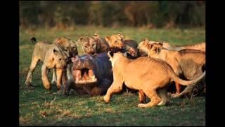 Львы и их жертвы - зрелище не для слабонервных!(Подборка кадров из жизни дикой природы. Сложные взаимоотношения диких животных. Львы и их жертвы. Постоянн..., 2013-10-10T16:00:28.000Z)