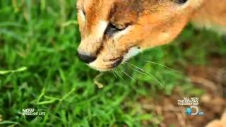 Caracal Cat Hunting ~ HD   YouTube