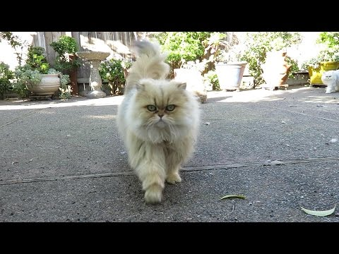 15 01 22 Walking my Persian kitties on a sunny day