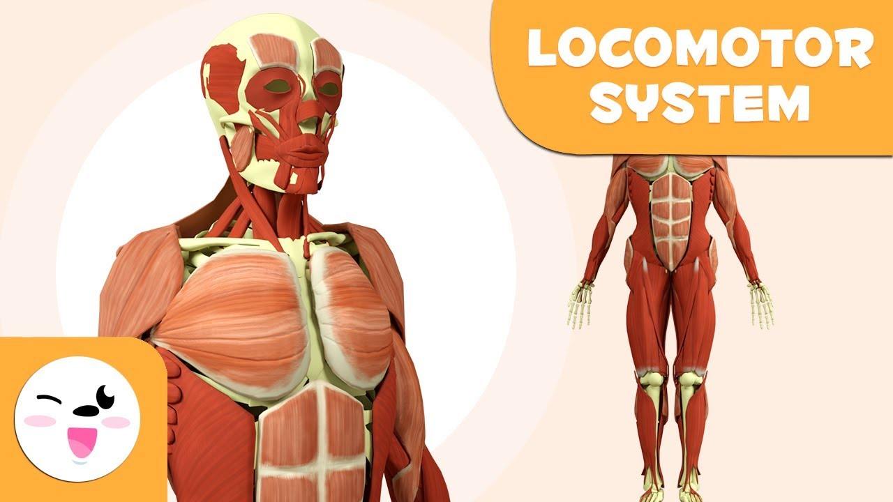 Locomotor System For Kids Bones And Muscles Of The Human Body