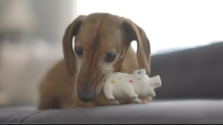 Puppy Talks to His Toy thumbnail