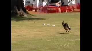 German Shepherd Akc Coursing Ability Test Cat