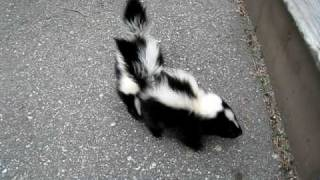 Baby Skunks Attack!