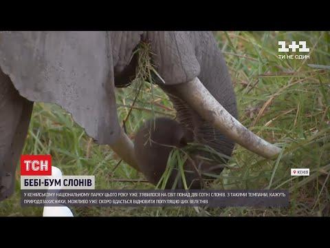 ТСН: Рекордна народжуваність: у національному парку Кенії цьогоріч з`явилося понад 2 сотні слонів