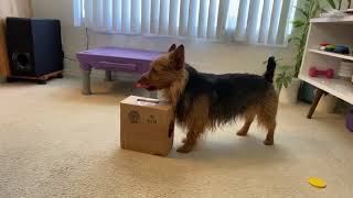 Sully, the Australian Terrier,  Saves his money