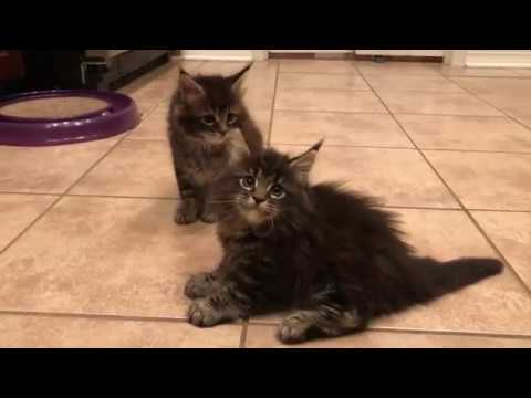 7 week old Maine coon kittens, kittens playing with balls and cat scratcher