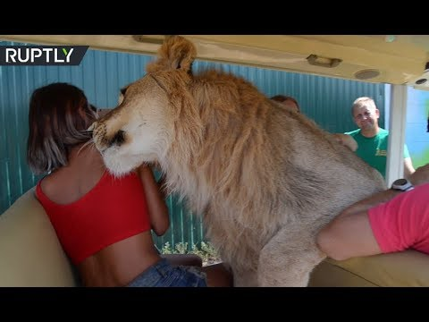 Lion jumps into open vehicle full of tourists on safari tour in Crimea's Taigan park