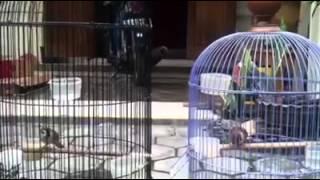 suara burung gereja master cendet