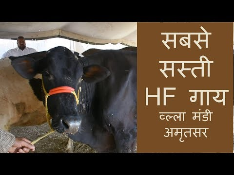 Low cost holstein friesian cow from Punjab