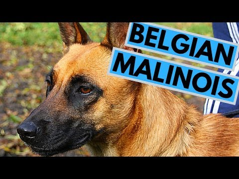 Belgian Malinois - Best Working Dog