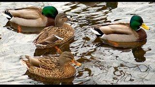 На даче - Наши дикие домашние утки на озере