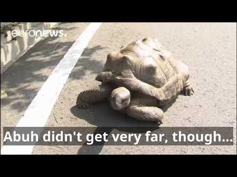 Slow getaway: on-the-run tortoise found just 140 metres away