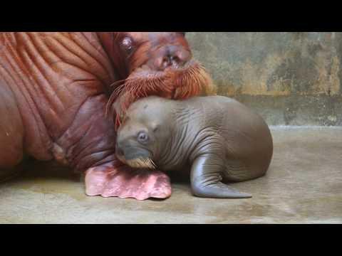 First Walrus Calf in Park History | SeaWorld Orlando