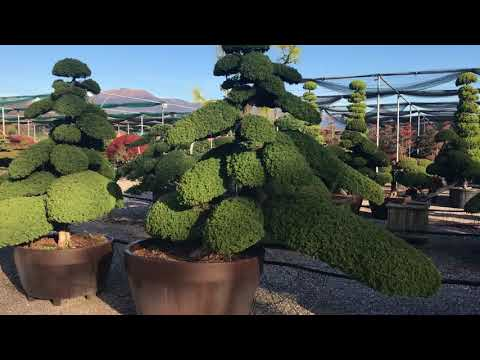 Japanese cloud trees at Big Plant Nursery